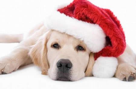 chien de noel Noël et les dangers pour chiens chien de noel