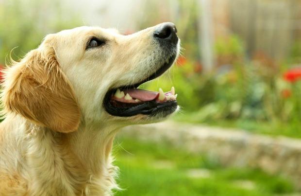 Éducateur canin Rive-Sud de Montréal, dressage de chien