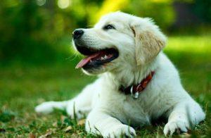 cours d'obéissance pour chiots et chiens
