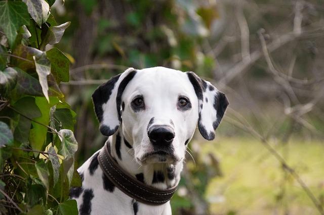 éducateur canin à Montréal, dressage, éducateur canin dressage chien