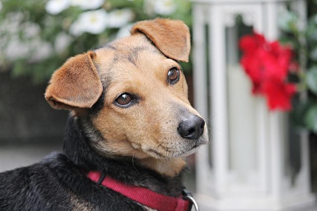 dressage chien éducateur canin Rive-sud de Montréal