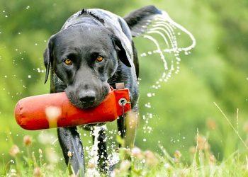 labrador races chiens les plus populaires