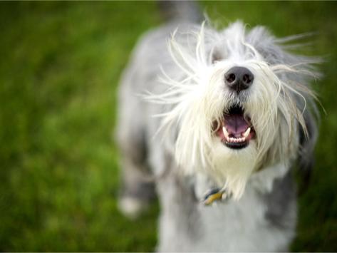 chien jappe arrêter aboiement éducateur canin Rive-sud